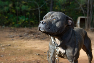 ALABAMA_DOGFIGHTING_RESCUE