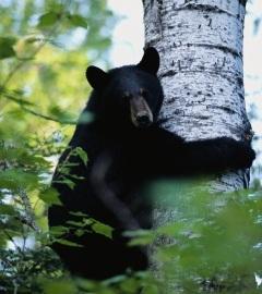 Blackbear