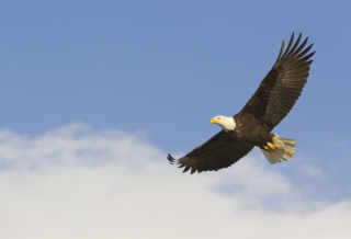 BALD_EAGLE_SOARING_244699 (1)