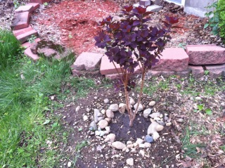 Newly planted Cotinus