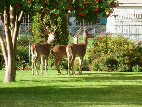 Deer-in-yard