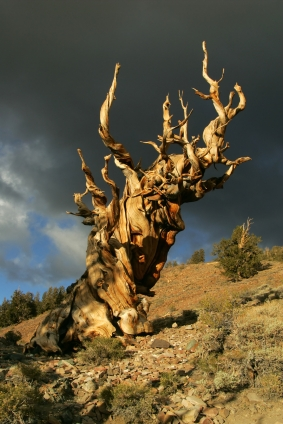 The Bristlecone Pine can live longer than any other organism on earth