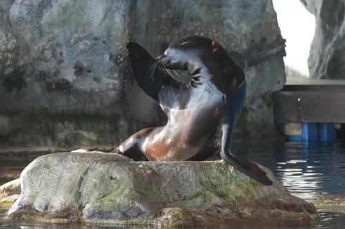Seal-salute-shedd