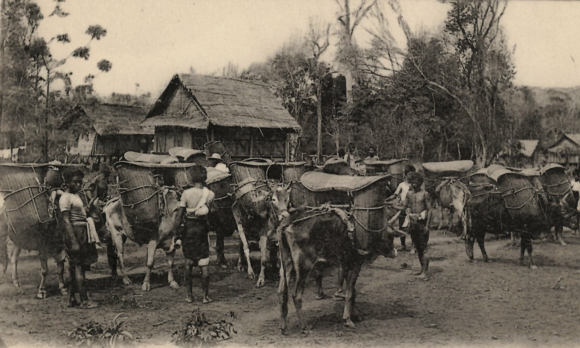 Postcard of a cattle caravan in Laos, printed around 1910. From an Album of postcards from Siam, Burma, Indochina. British Library, ORB.30/6309