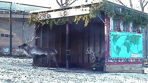 Reindeer Cam Returns for 2nd Year on APLVE